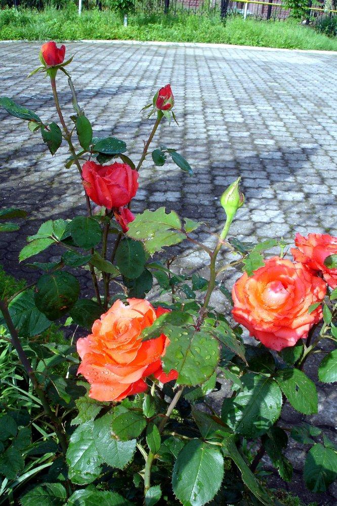 Фото DSC07597.jpg. Россия, Адыгея республика, город Майкоп, улица Павлова, 32