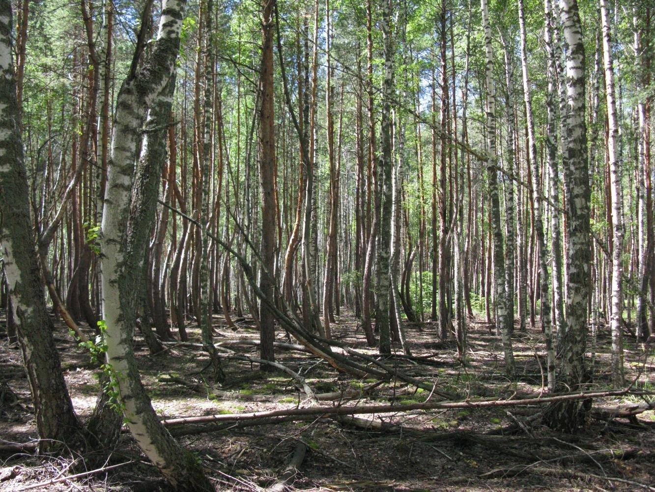 Фото Пьяный лес. Россия, Рязанская область