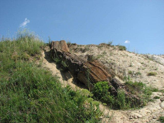 Фото окаменевшее дерево. Украина, Донецкая область, H20